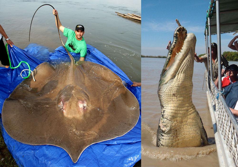 На фото зліва: гігантський скат. На фото праворуч: гігантський крокодил на ім'я Брутус