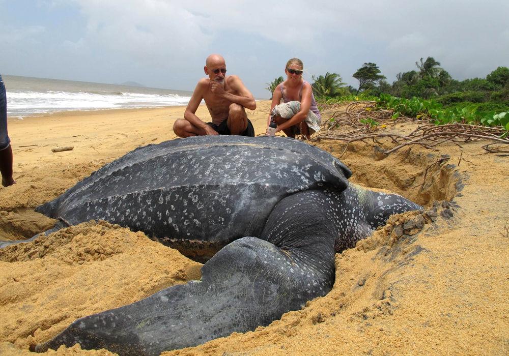 Морська шкіряста черепаха