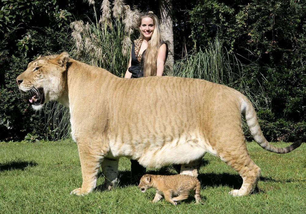Лигр - гібрид, нащадок лева і тигриці