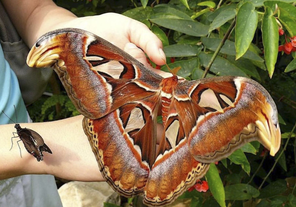 Метелик Attacus atlas