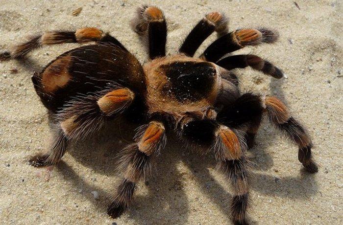 В Італії танцювальну чуму назвали тарантизмом.