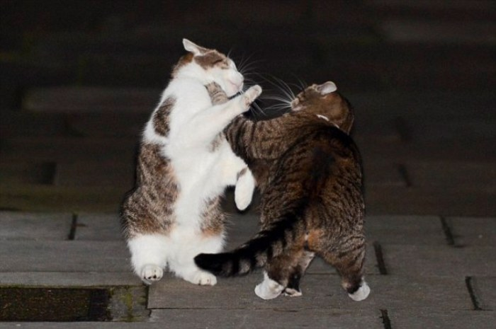 Ларрі (зліва) з'ясовує стосунки зі своєю конкуренткою Фреєю на Даунінг-стріт. | Фото: dailymail.co.uk.